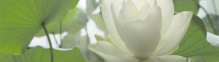 Белия планински лотос и серия Zhenfei perfect