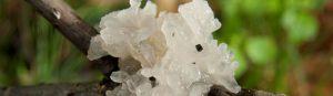 Бяла тремела - ледената гъба